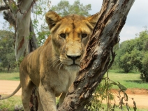 Lioness contemplates the humans (us!) in the cage