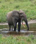 AFRICAN FOREST ELEPHANT ~ PLATINUM SUPPORTERS